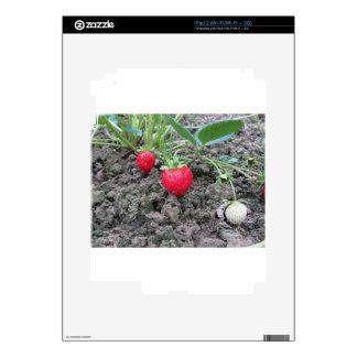 Primer de fresas orgánicas frescas en el Garde Calcomanías Para El iPad 2