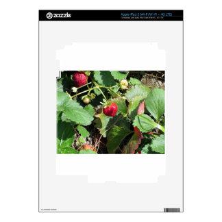 Primer de fresas orgánicas frescas iPad 3 skin