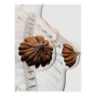 Primer de glándulas mamarias femeninas postal