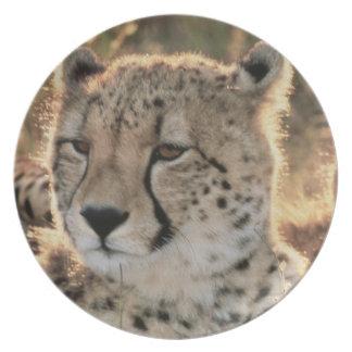 Primer de guepardos plato de comida