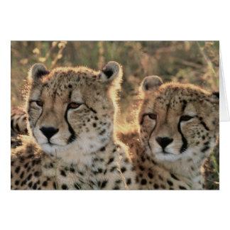 Primer de guepardos tarjeta de felicitación