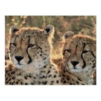 Primer de guepardos tarjetas postales