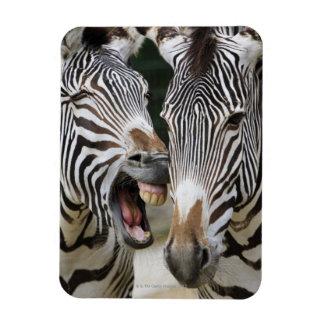 primer de la cabeza de cebras, SP del Equus., Berl Imanes Flexibles