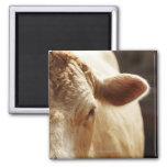 Primer de la cara de la vaca imanes