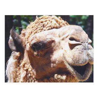 Primer de la cara del camello de la chepa del postal