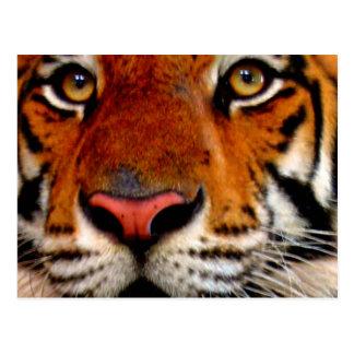 Primer de la cara del tigre postal