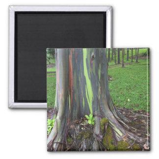 Primer de la corteza de árbol colorida de eucalipt imán cuadrado