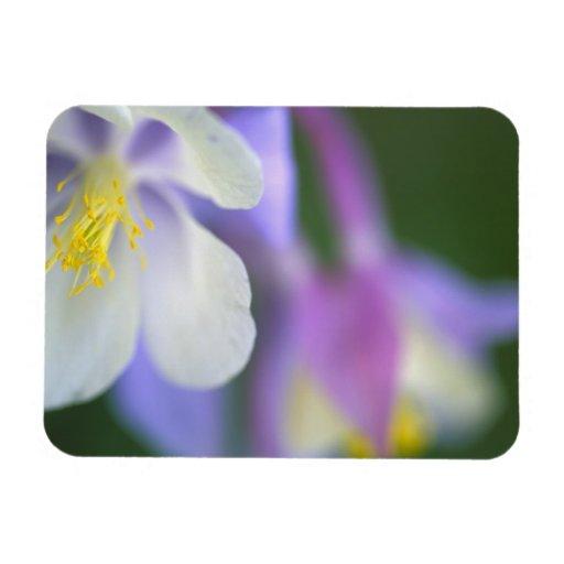 Primer de la flor de Colorado Columbine Imanes De Vinilo