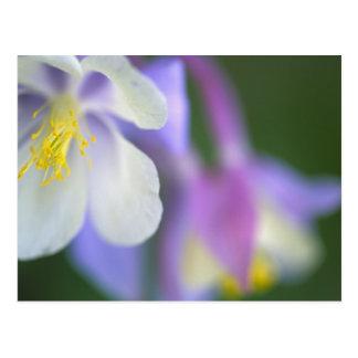 Primer de la flor de Colorado Columbine Tarjetas Postales