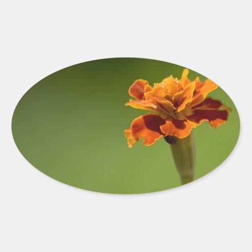 Primer de la flor de la maravilla pegatina ovalada