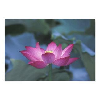 Primer de la flor de loto roja y de hojas verdes arte fotografico