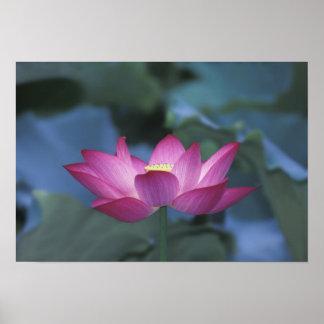 Primer de la flor de loto roja y de hojas verdes posters