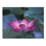 Primer de la flor de loto roja y de hojas verdes, postal