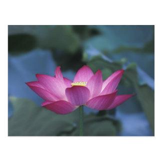 Primer de la flor de loto roja y de hojas verdes tarjetas postales