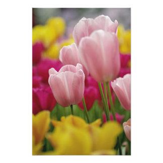 Primer de la flor del tulipán, jardines de Kuekenh Fotografías