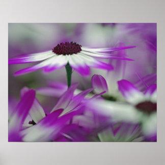 Primer de la flor púrpura, jardín de Keukenhof, Póster