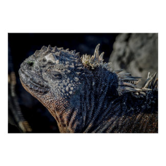 Primer de la iguana marina de la cabeza y de póster
