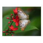 Primer de la mariposa blanca postal