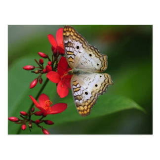 Primer de la mariposa blanca postales