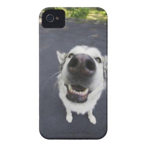 Primer de la nariz del perro esquimal iPhone 4 carcasa