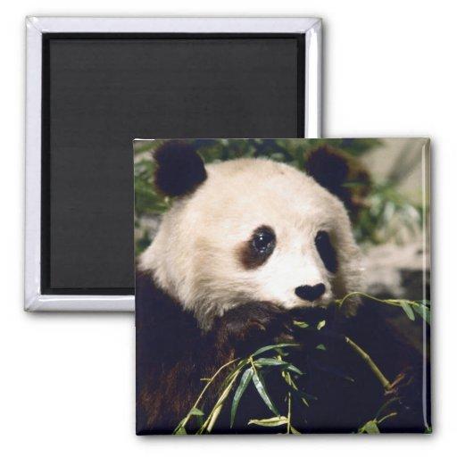 Primer de la panda imanes de nevera
