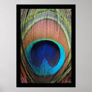 Primer de la pluma del pavo real posters