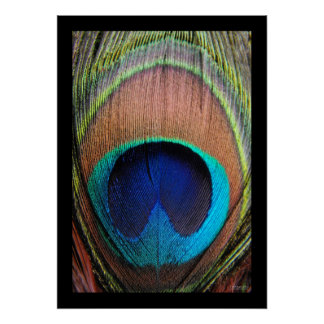 Primer de la pluma del pavo real póster
