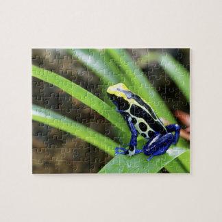 Primer de la rana de teñido del dardo del cobalto  puzzle con fotos