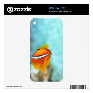 Primer de los pescados de anémona del tomate, calcomanía para el iPhone 4