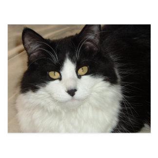 Primer de pelo largo negro y blanco del gato postal