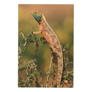 Primer de un Agama de tierra (Agama Aculeata) 2 Impresiones En Madera