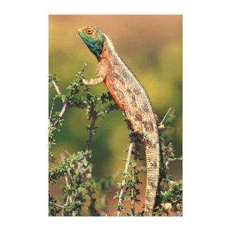 Primer de un Agama de tierra (Agama Aculeata) 2 Lona Estirada Galerías