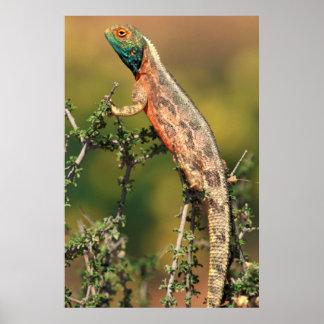 Primer de un Agama de tierra (Agama Aculeata) 2 Póster