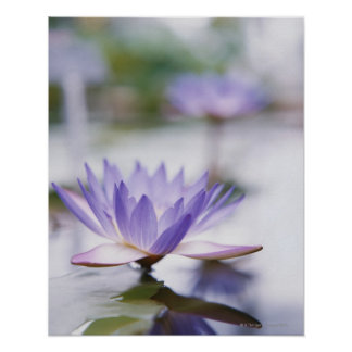 Primer de un Agua-Lirio púrpura que flota encendid Póster