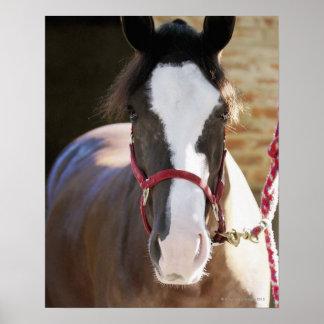 Primer de un caballo atado en un establo posters