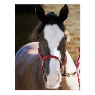 Primer de un caballo atado en un establo tarjetas postales