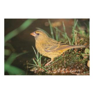 Primer de un canario del bosque (Serinus Scotops) Cuadro De Madera