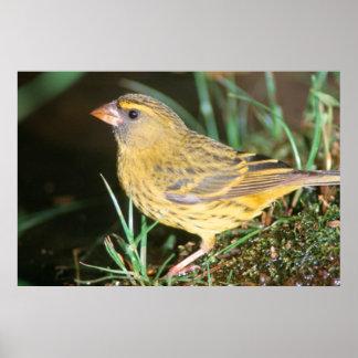 Primer de un canario del bosque (Serinus Scotops) Póster