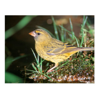 Primer de un canario del bosque (Serinus Scotops) Tarjetas Postales