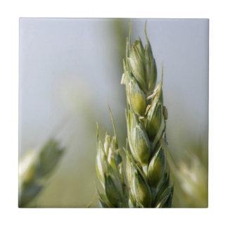 Primer de un maíz verde azulejos