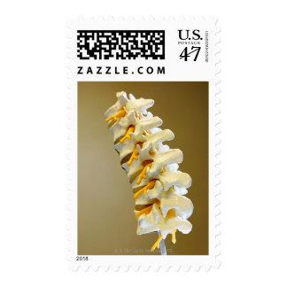 Primer de un modelo médico de vértebras del timbres postales