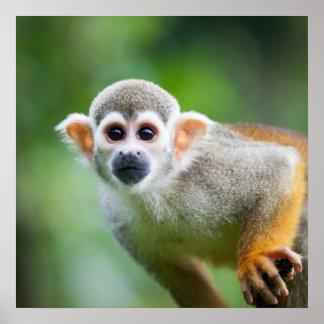 Primer de un mono de ardilla común póster