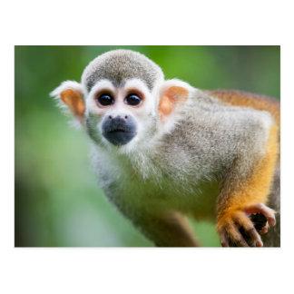 Primer de un mono de ardilla común postales