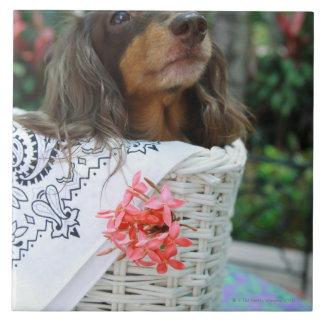 Primer de un perro del Dachshund que se sienta en Azulejo Cuadrado Grande