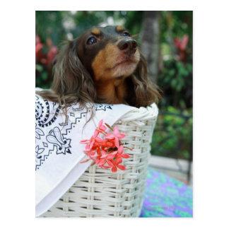 Primer de un perro del Dachshund que se sienta en Postales