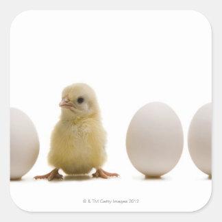 Primer de un polluelo del bebé con tres huevos pegatina cuadrada