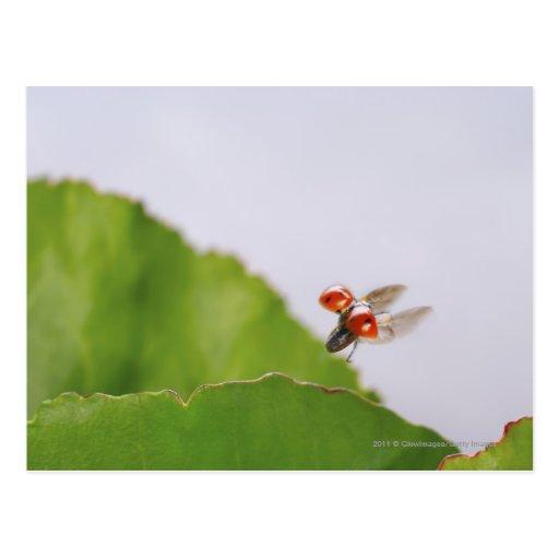 Primer de una mariquita que vuela sobre una hoja tarjetas postales