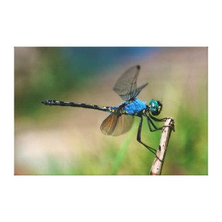 Primer de una mosca azul del dragón en una rama lona envuelta para galerias
