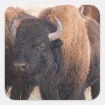 Primer del bisonte pegatina cuadrada