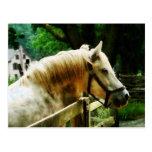 Primer del caballo blanco postal